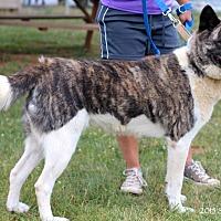 Akita Dog for adoption in Virginia Beach, Virginia - Opal