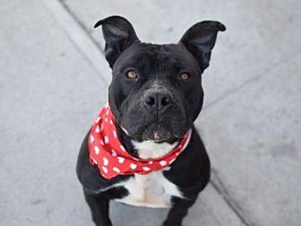 American Staffordshire Terrier Mix Dog for adoption in Manhattan, New York - Loverboy/Thor