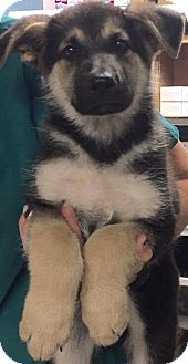 Shepherd (Unknown Type) Mix Puppy for adoption in San Dimas, California - Jager