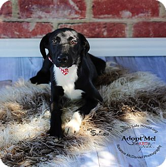 Border Collie/Schnauzer (Miniature) Mix Puppy for adoption in Lubbock, Texas - SHILOH