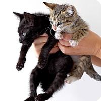 Adopt A Pet :: Soap - Brooklyn, NY