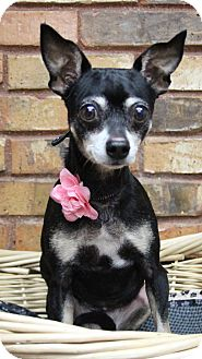 Chihuahua Mix Dog for adoption in Benbrook, Texas - Wiggles