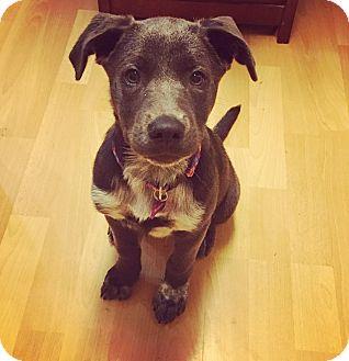 Labrador Retriever Mix Puppy for adoption in Hagerstown, Maryland - Belle