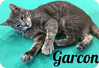 Domestic Shorthair Cat for adoption in Bentonville, Arkansas - Garcon