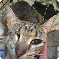 Domestic Shorthair Cat for adoption in Middlebury, Connecticut - Jewels