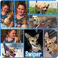 Adopt A Pet :: Swiper - Runnemede, NJ