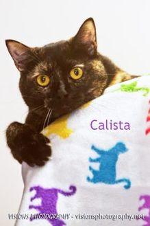 Domestic Shorthair/Domestic Shorthair Mix Cat for adoption in Cedar Rapids, Iowa - Calista