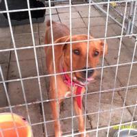Adopt A Pet :: Redd - Opelousas, LA