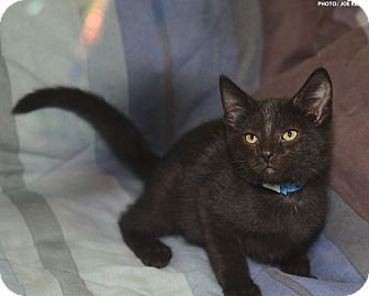 Domestic Shorthair Kitten for adoption in Medina, Ohio - Desi