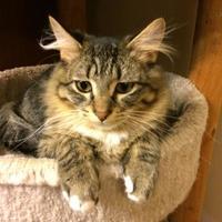 Domestic Shorthair/Domestic Shorthair Mix Cat for adoption in Wichita, Kansas - Arizona