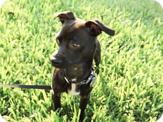 Chihuahua/Dachshund Mix Dog for adoption in White Settlement, Texas - Skipper