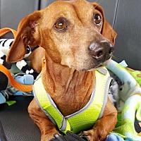Adopt A Pet :: Petey - Jacksonville, FL