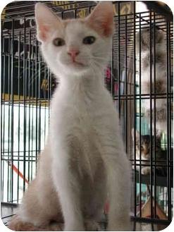 Domestic Shorthair Kitten for adoption in Fort Lauderdale, Florida - Comet
