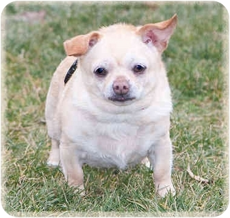 Chihuahua Mix Dog for adoption in Howell, Michigan - Louise