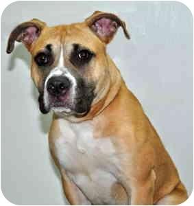 Boxer Mix Dog for adoption in Port Washington, New York - Angel