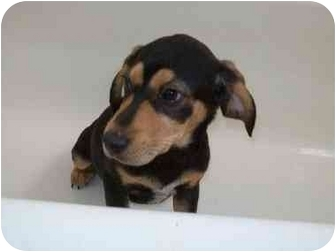 Coonhound/Corgi Mix Puppy for adoption in Bel Air, Maryland - Reese