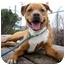 Photo 1 - Labrador Retriever/American Pit Bull Terrier Mix Dog for adoption in Seattle, Washington - Rippley