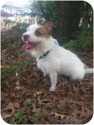 Jack Russell Terrier Dog for adoption in Kingwood, Texas - Zippy