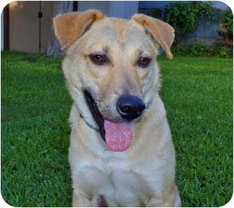 Retriever (Unknown Type)/Labrador Retriever Mix Dog for adoption in Houston, Texas - Toby