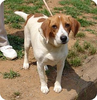 Beagle Mix Dog for adoption in Staunton, Virginia - Princess