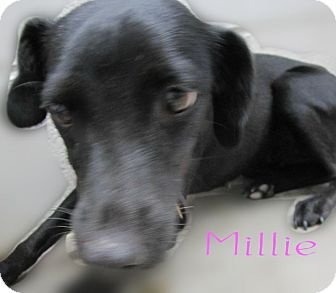 Chihuahua/Dachshund Mix Dog for adoption in Beaumont, Texas - Millie