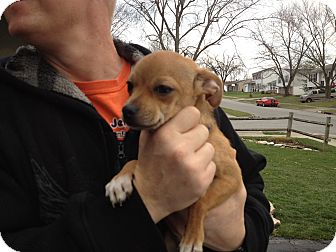Chihuahua Puppy for adoption in Westerville, Ohio - Pepe