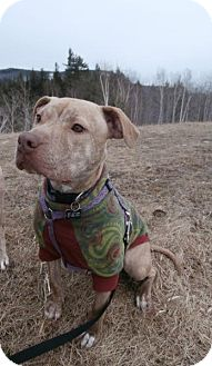 Pit Bull Terrier Dog for adoption in Williston, Vermont - Asha