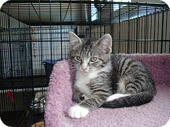 Domestic Shorthair Kitten for adoption in Speonk, New York - Tippy