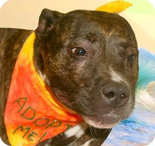 Pit Bull Terrier Mix Dog for adoption in Cincinnati, Ohio - Sadie
