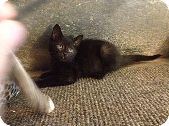 Domestic Shorthair Kitten for adoption in valhalla, New York - VANCE KITTEN