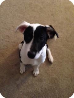 Terrier (Unknown Type, Medium) Mix Puppy for adoption in ST LOUIS, Missouri - Chaka