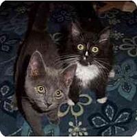 Adopt A Pet :: Simone/Sylvester - Vails Gate, NY