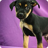 Adopt A Pet :: Dasher - Broomfield, CO
