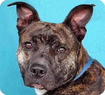 Pit Bull Terrier Mix Dog for adoption in Renfrew, Pennsylvania - Trooper
