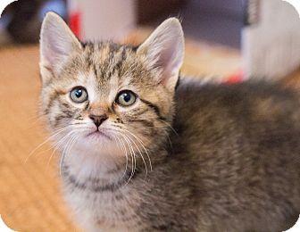 Domestic Shorthair Kitten for adoption in Chicago, Illinois - Gardenia
