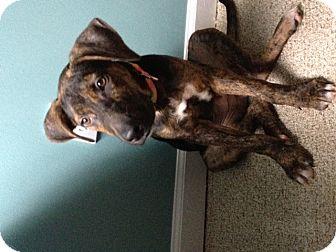 Great Dane/Shepherd (Unknown Type) Mix Puppy for adoption in Waterbury, Connecticut - Hazel