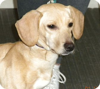Dachshund Mix Dog for adoption in Irwin, Pennsylvania - Sophie