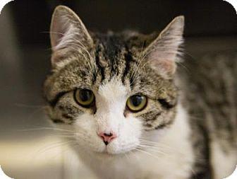Domestic Shorthair Cat for adoption in Lowell, Massachusetts - Oscar
