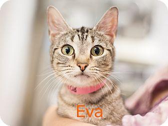 Domestic Shorthair Cat for adoption in Dallas, Texas - Eva