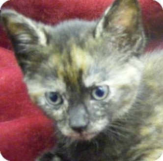 Domestic Shorthair Kitten for adoption in Olive Branch, Mississippi - Minnie