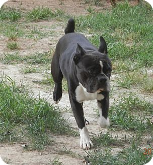Boston Terrier Dog for adoption in Clarksville, Tennessee - George