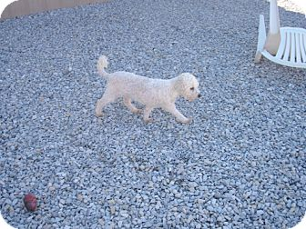 Bichon Frise Mix Dog for adoption in Newburgh, Indiana - Penny