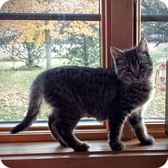 Domestic Shorthair Kitten for adoption in Manitowoc, Wisconsin - *Kit Kat*
