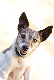 Jack Russell Terrier Mix Dog for adoption in Coronado, California - Goldie