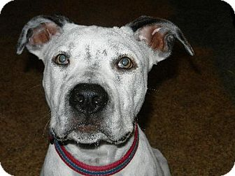 American Bulldog Mix Dog for adoption in Cedar Rapids, Iowa - Jordy. ***ADOPTION PENDING***