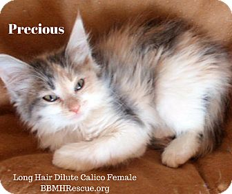 Domestic Longhair Kitten for adoption in Temecula, California - Precious