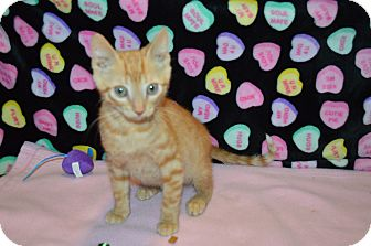 Domestic Shorthair Kitten for adoption in Arlington/Ft Worth, Texas - Drew