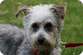 Schnauzer (Miniature)/Poodle (Miniature) Mix Dog for adoption in Carlsbad, California - Philip
