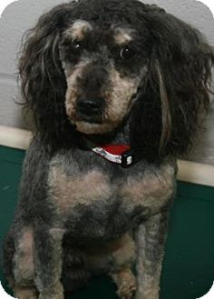 Miniature Poodle/Mixed Breed (Medium) Mix Dog for adoption in Philadelphia, Pennsylvania - Chong