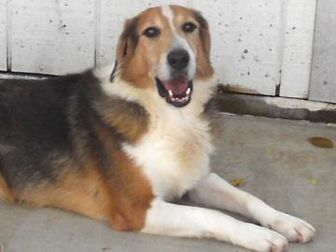 Collie Mix Dog for adoption in Wichita, Kansas - ollie